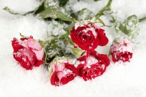 Vinous roses in the snow