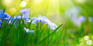 Snowdrop spring flowers in sunshine