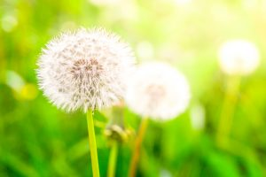 Faded dandelions with fluffy white seeds in the green meadow