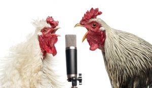 Two roosters singing at a microphone
