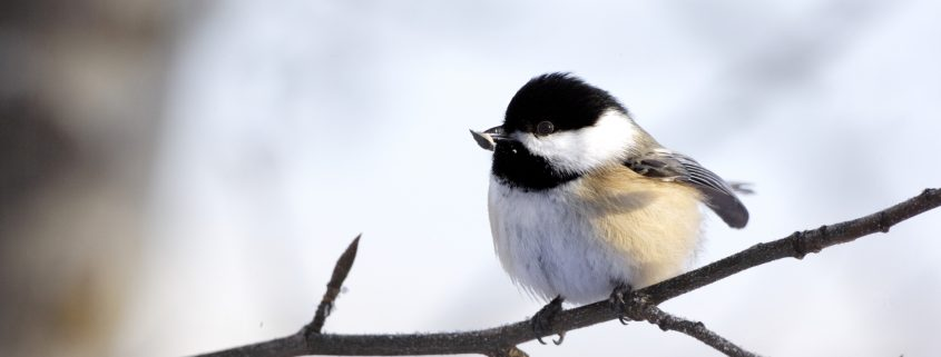 Black-capped chickadee (poecile atricapillus) perched on branch