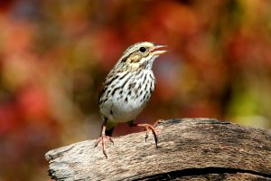 Savannah sparrow (passerculus sandwichensis) on a log with fall colors